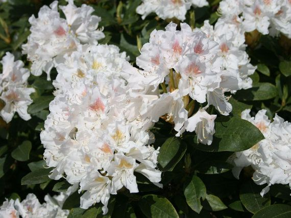 Rhododendron Cunninghams White Pink Buds And White Blooms