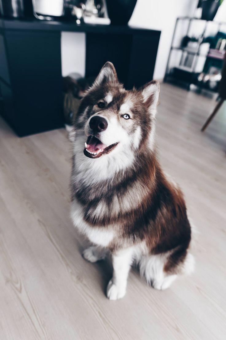 Wildborn Hundefutter Erfahrungen Von Frenchie Mocca Und Husky