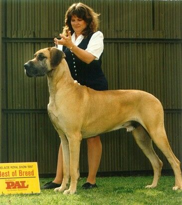 Akc Fawn Male Great Dane Puppy Family Raised Health Guarantee In