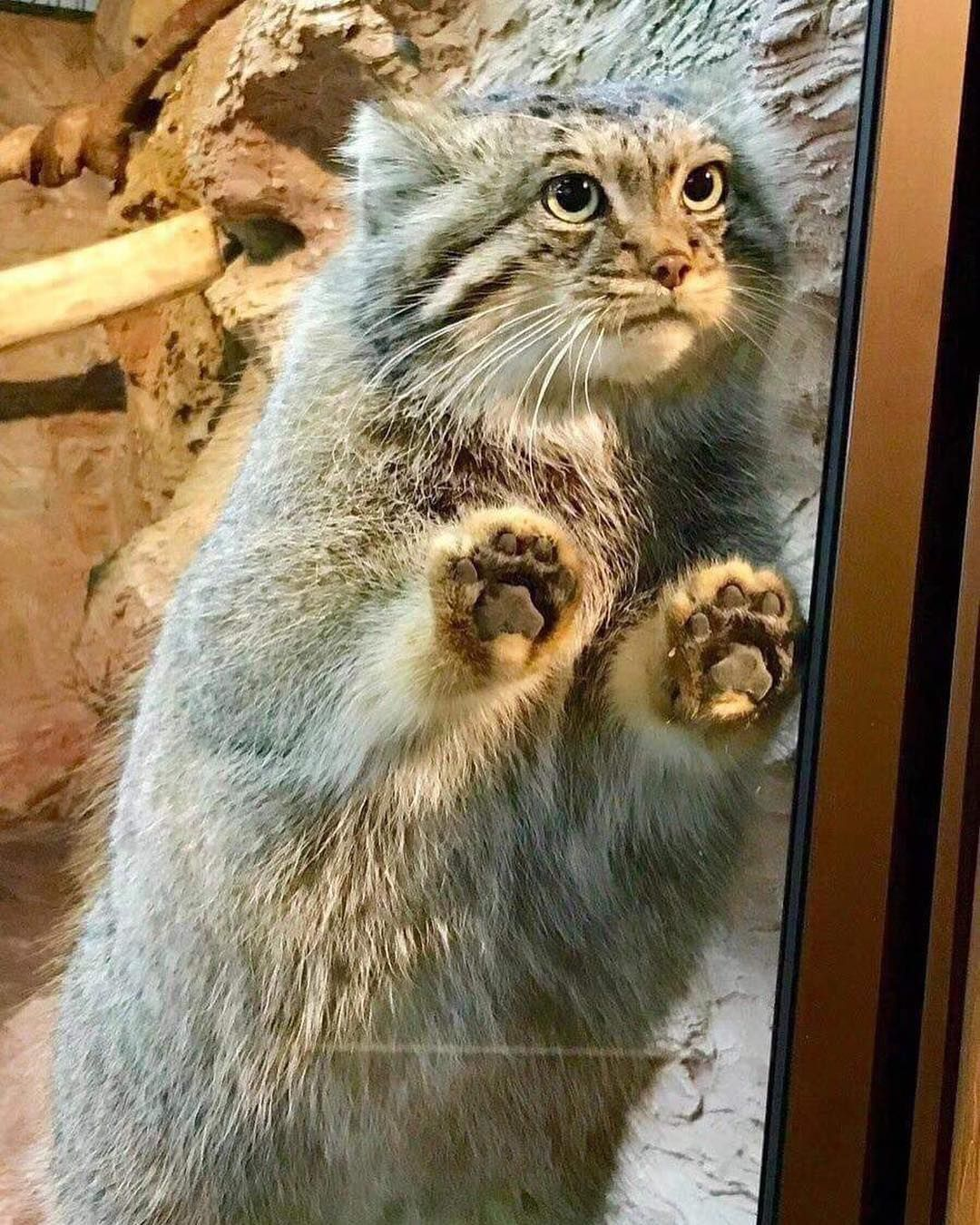Pallas Cat In A Zoo Beans Against Glass Jellybeantoes Cute Funny Animals Animals Beautiful Beautiful Cats