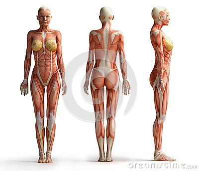 female anatomy view - download from over 26 million high quality,