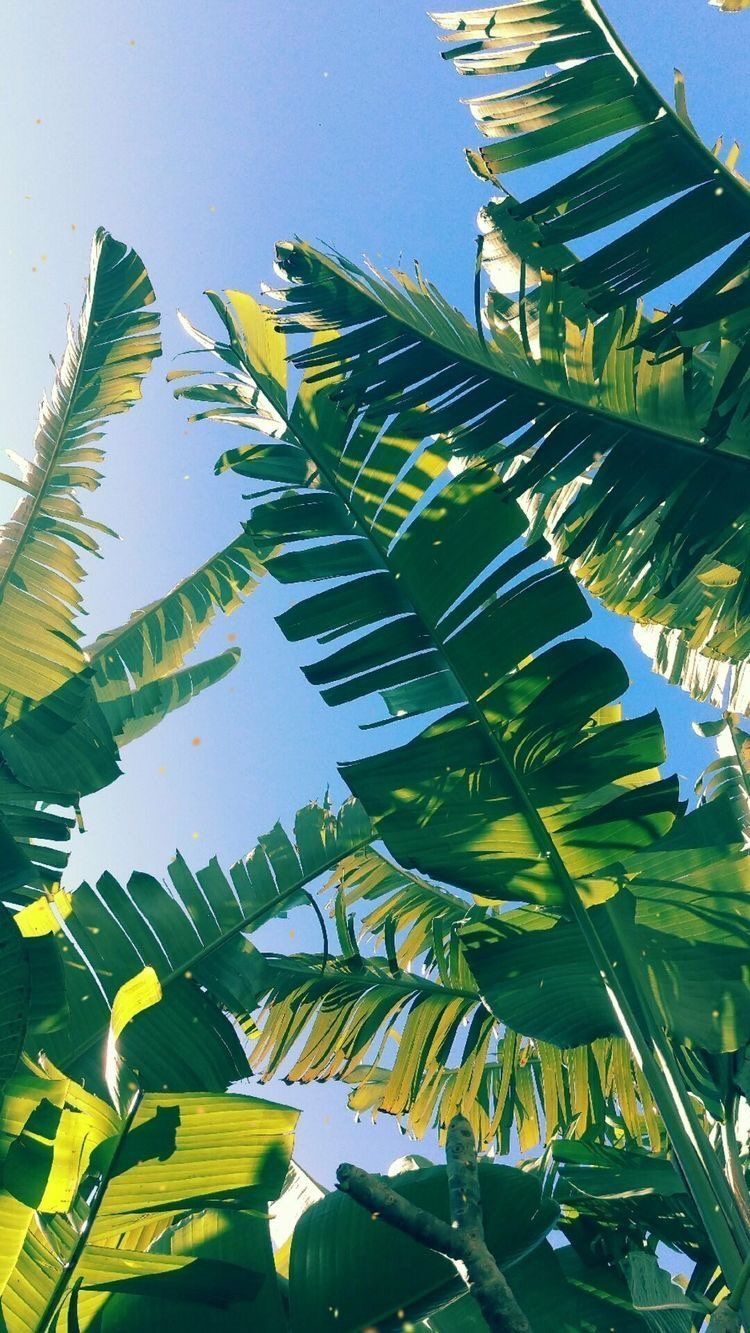 Iphone And Android Wallpapers Palm Leaf Wallpaper For Iphone And Android In 2020 Pictures To Paint Summer Wallpaper Plant Wallpaper