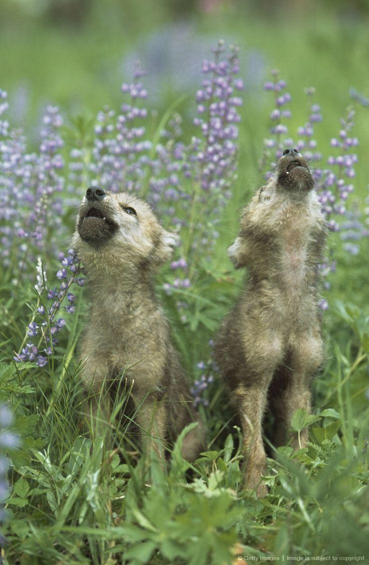 wolf puppies howling | Wolf Puppies Howling In Meadow | Off Noah's Ark