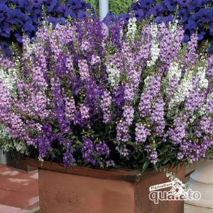 Fiori Quaiato.Piante Perenni Fiorite Floricoltura Quaiato Giardinaggio