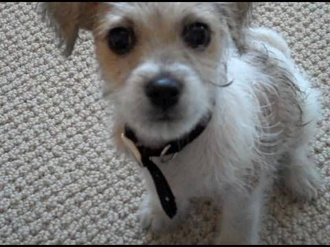 Cutest Jackapoo Puppy Air Dries Youtube Terrier Poodle Mix