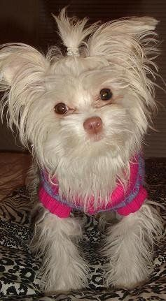 Yorkie Chihuahua Mix pink nose | Kylie, the Maltese/Long ...