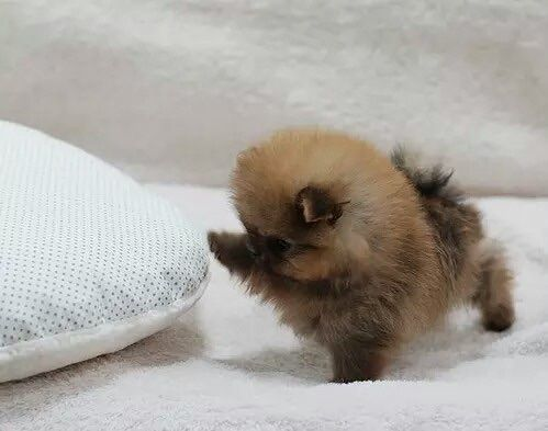 Theclassyfitness Pomeranian Puppy Teacup Cute Baby Animals Cute Dogs