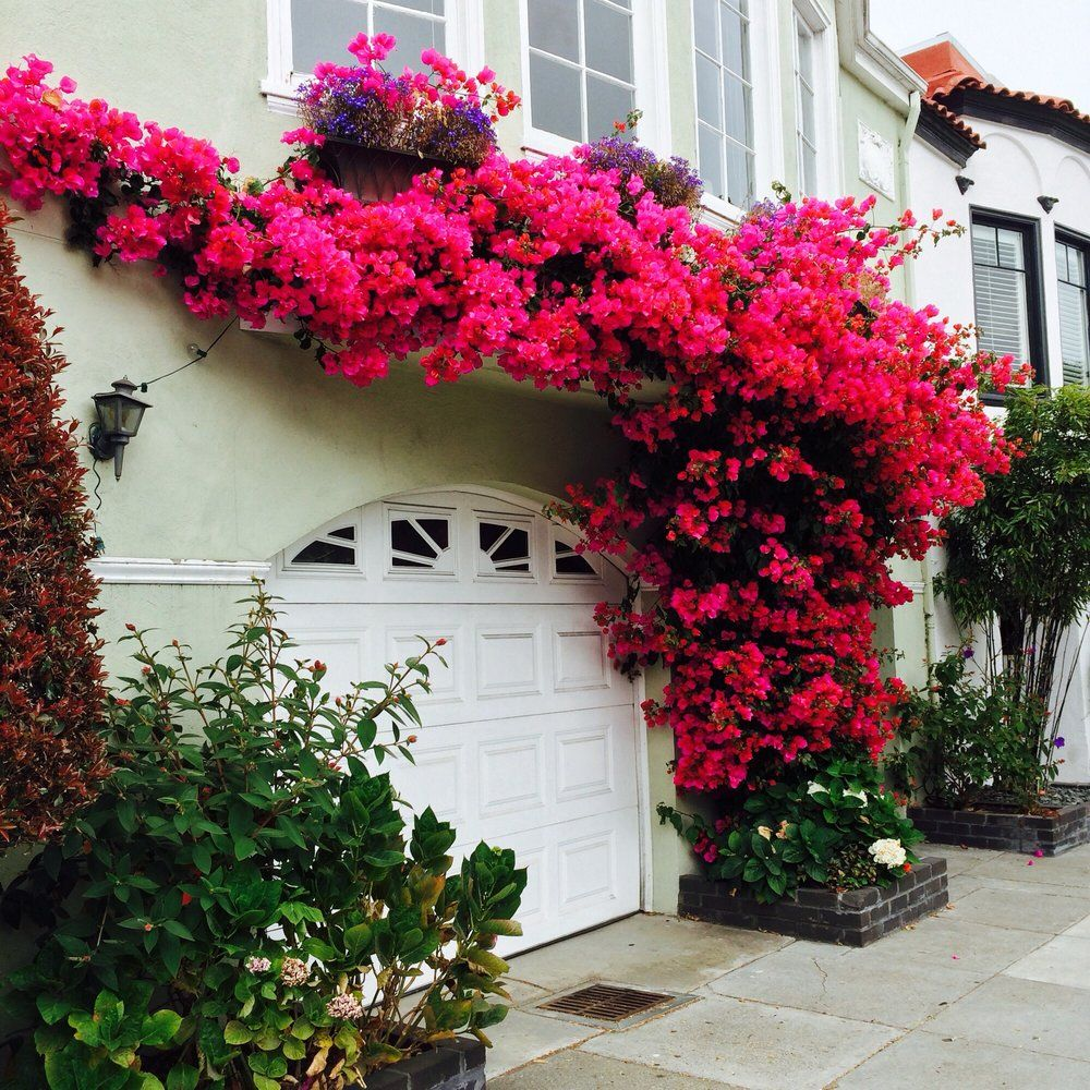 Garage Door Landscaping Ideas: Bougainvillea Nz - Google Search