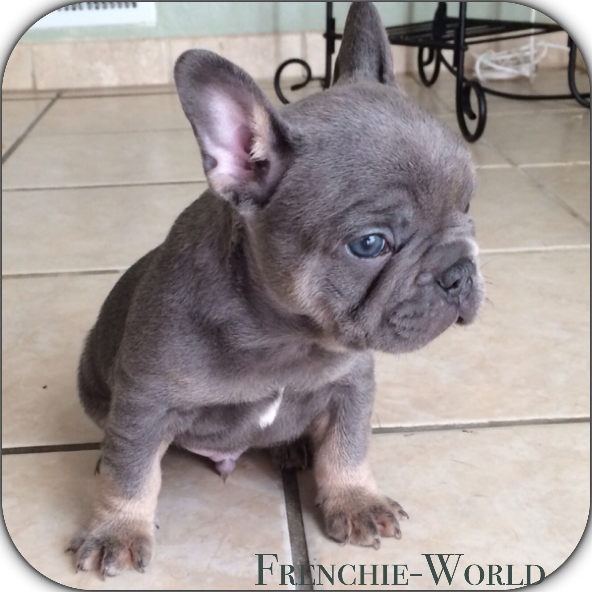 Blue and Tan puppies coming soon! Same rare colors & same great looks! Rare colors also Black and Tans