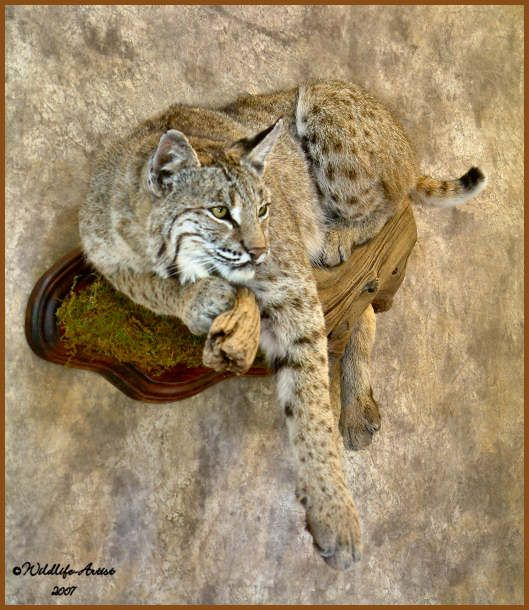 This Taxidermist Is A Very Talented Artist Bobcattaxidermy