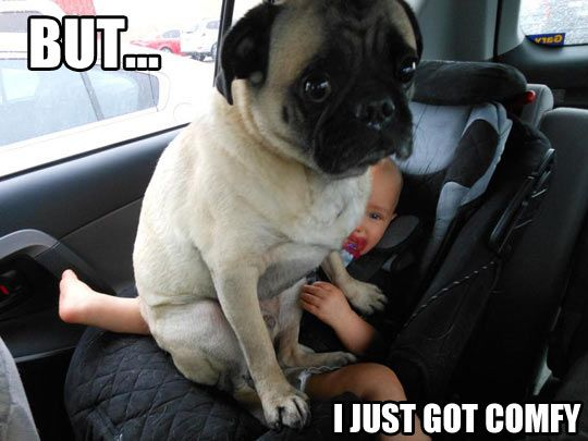 What Do You Mean Move Cute Pugs Funny Dogs Pugs
