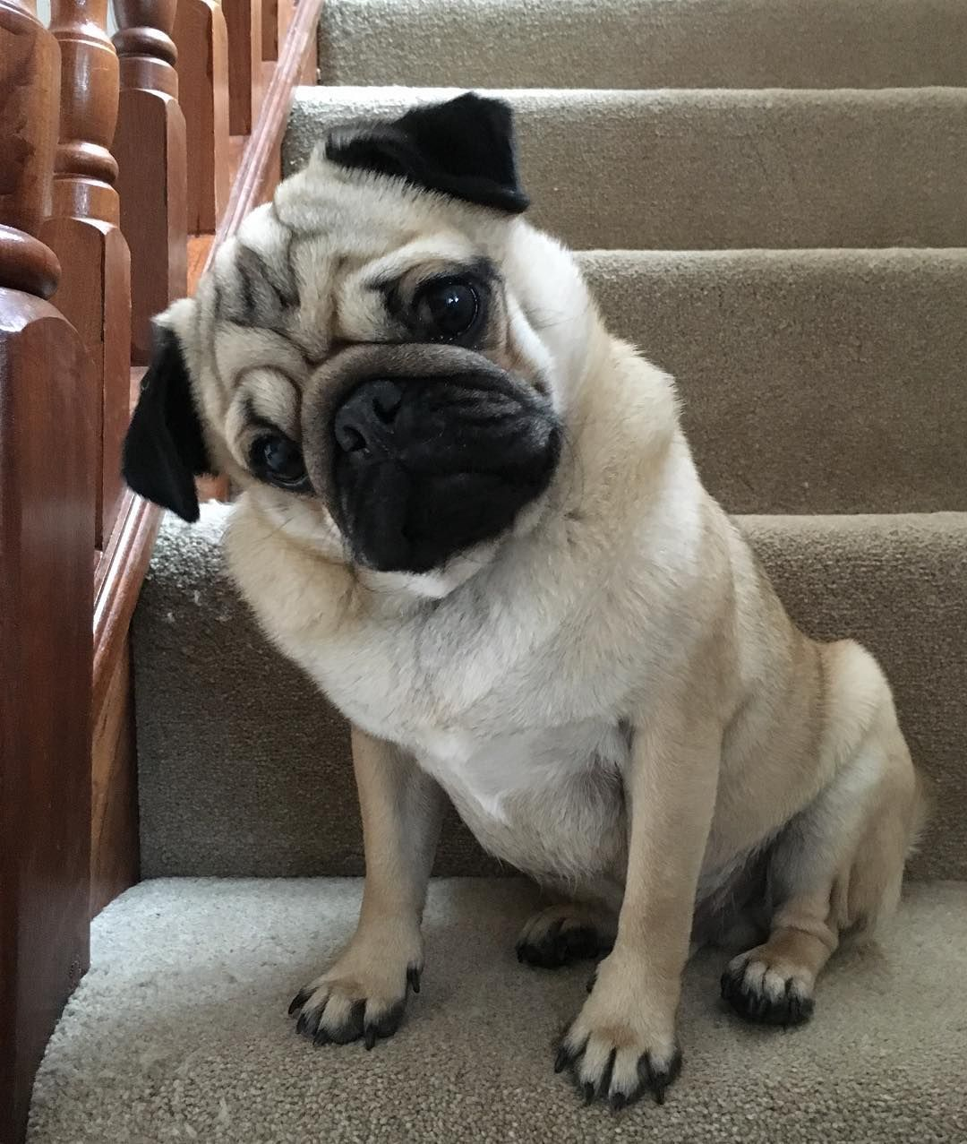 I M Helping Nana With The Cleaning Pet Pug Pug Breed
