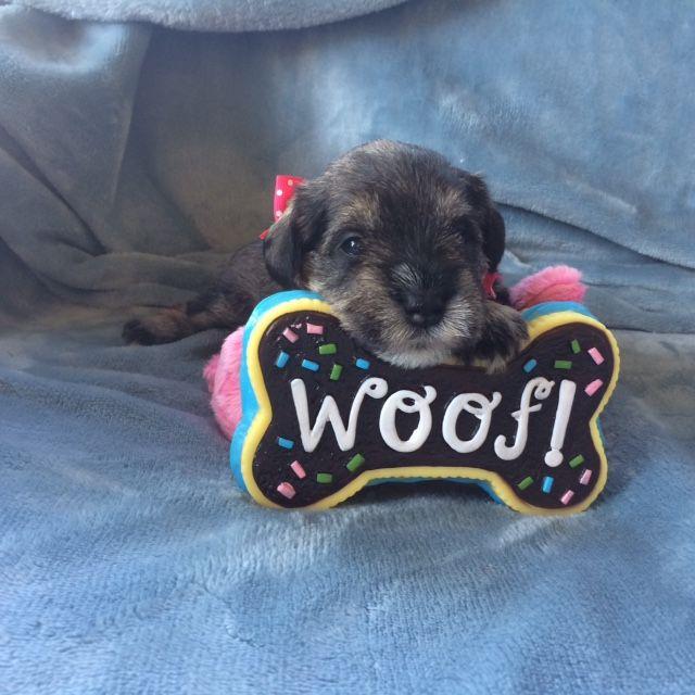 Schnauzer Miniature Puppy For Sale In Hutto Tx Adn 32181 On