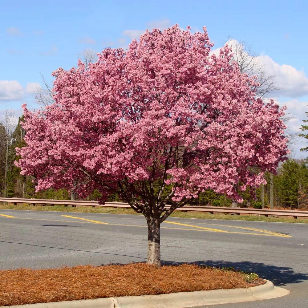 Okame Cherry Trees For Sale Fastgrowingtrees Com Flowering Cherry Tree Cherry Tree Fast Growing Trees