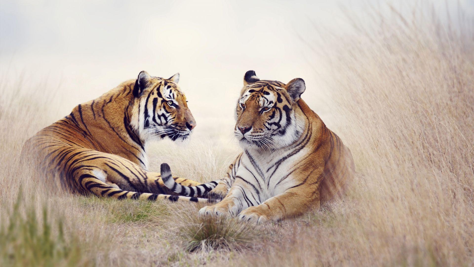 Beautiful Tiger Pair [1920x1080] Need iPhone 6S Plus