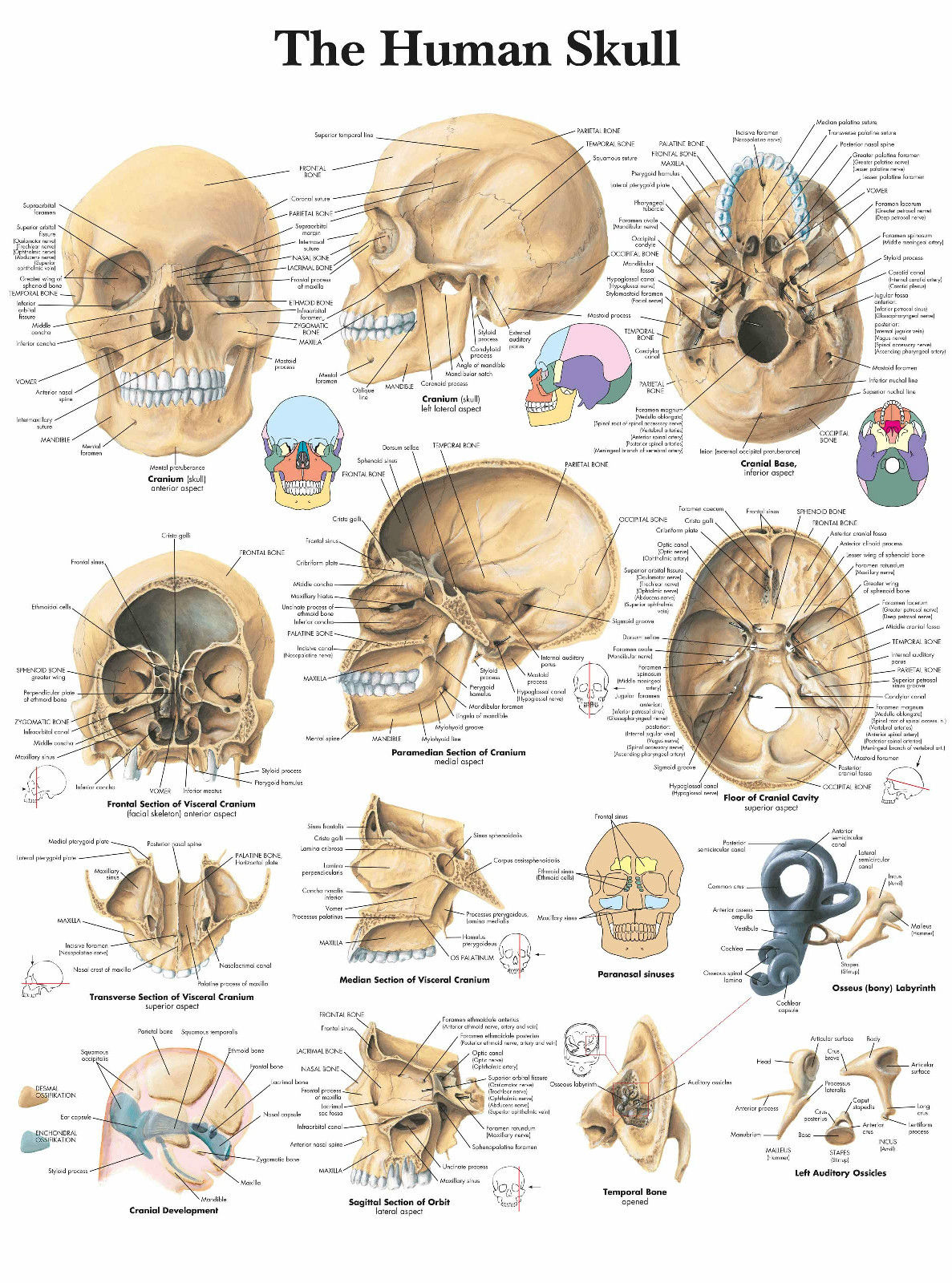A3 Medical Poster U00 The Human Skull Text Book Anatomy