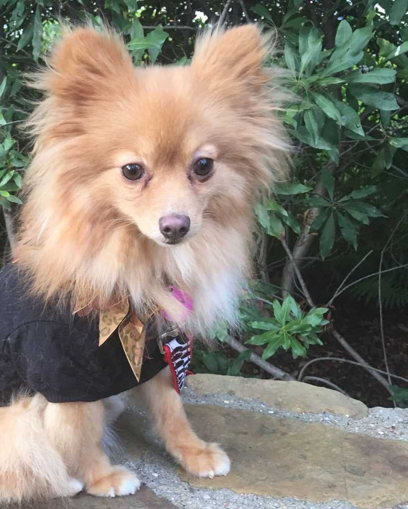 Find Pomeranian Rescue Columbus Ohio