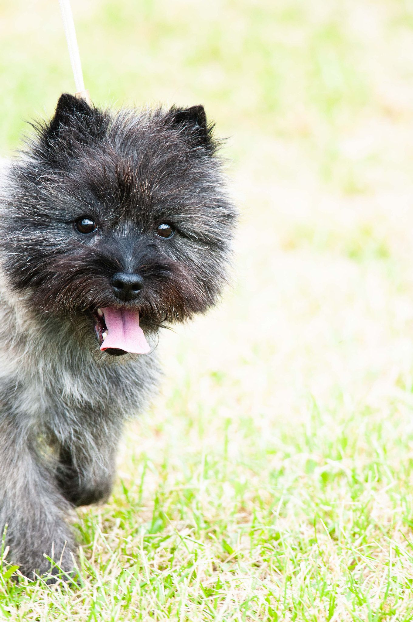 Cairn Terrier At Hickories Circuit Dog Show 2014 Cairn Terrier