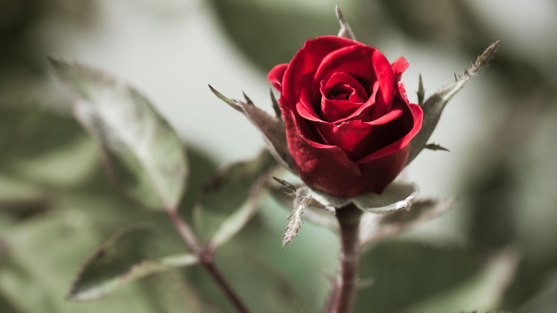 A Single Red Rose Wallpaper Flowers Nature Wallpapers) – Wallpapers and Backgrounds