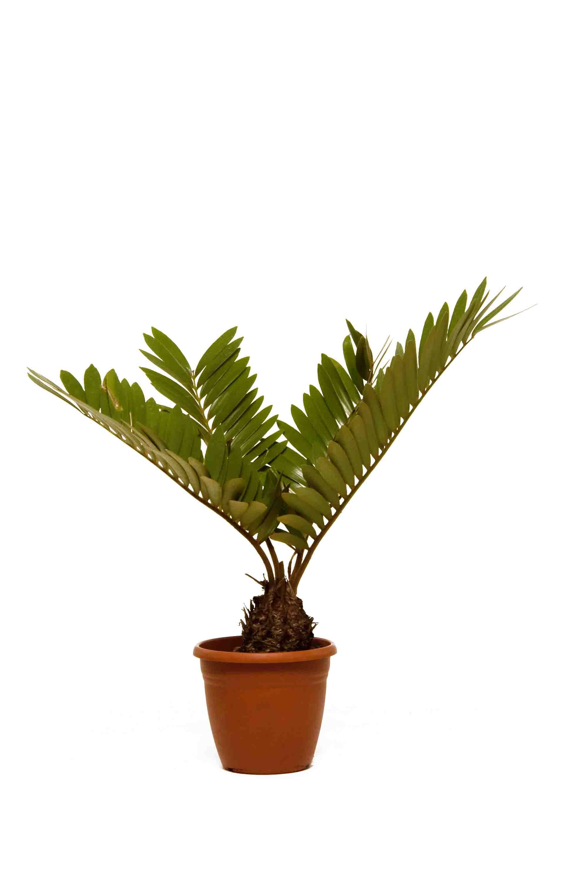 Cycas Revoluta Great Plant Where There Is Good Light And Enough Room In The Office