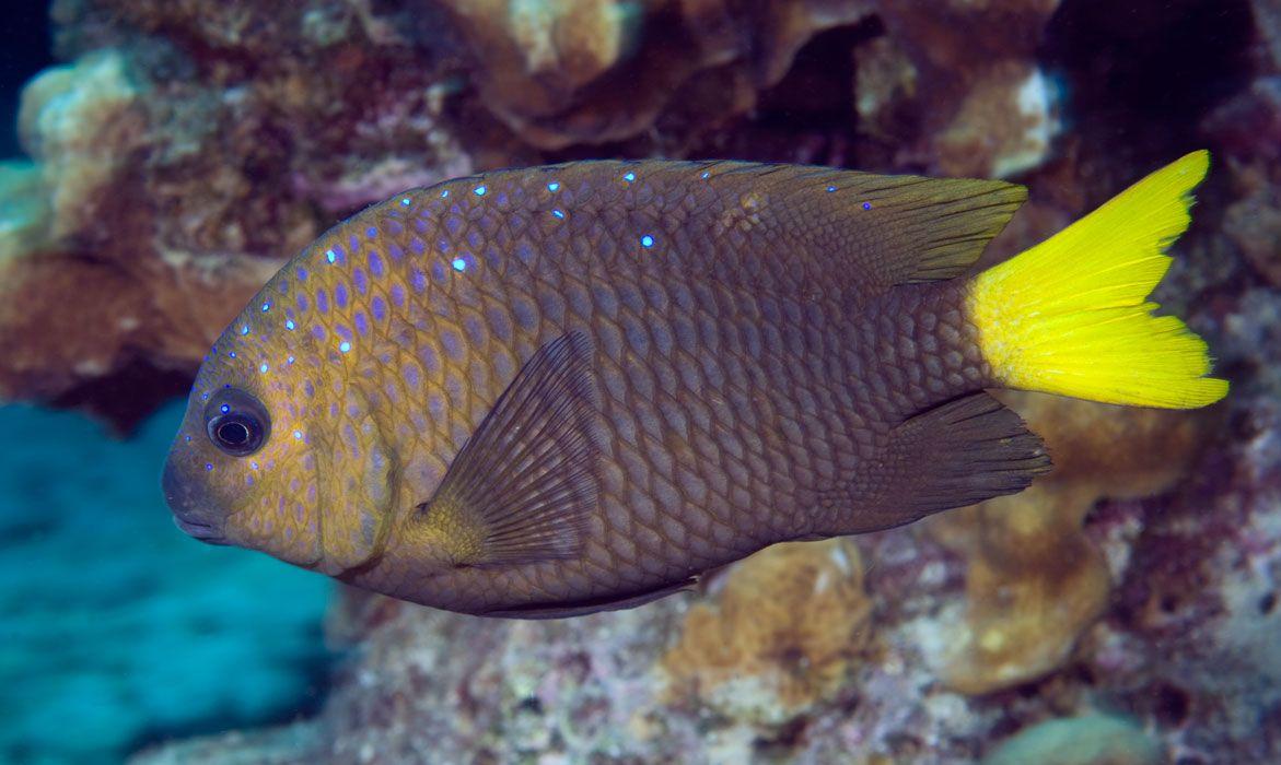 Image result for damsel fish galapagos gif