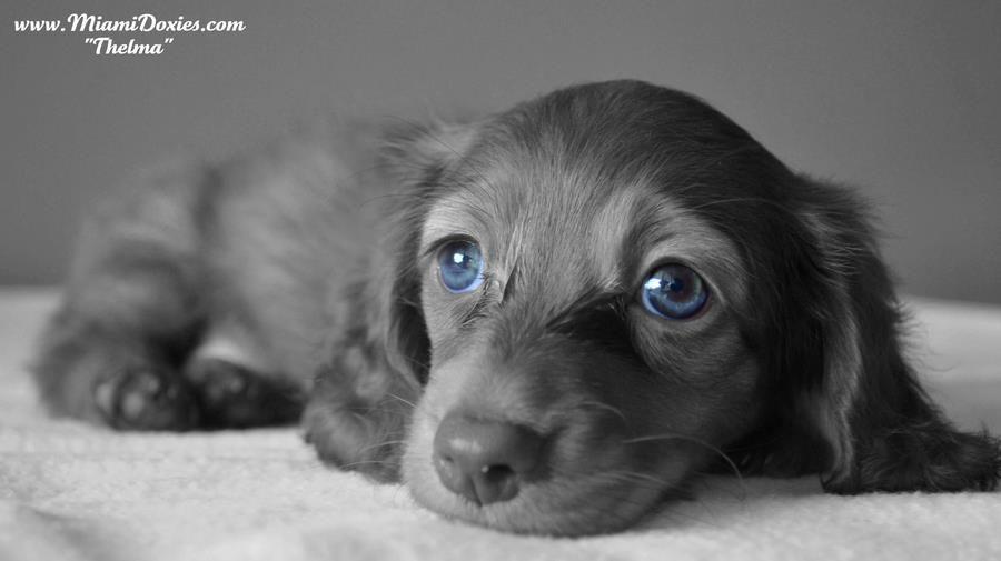 blue eyes Dachshund puppies, Dachshund dog, Doxie puppies