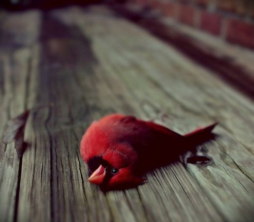 dead cardinals are everywhere to me.