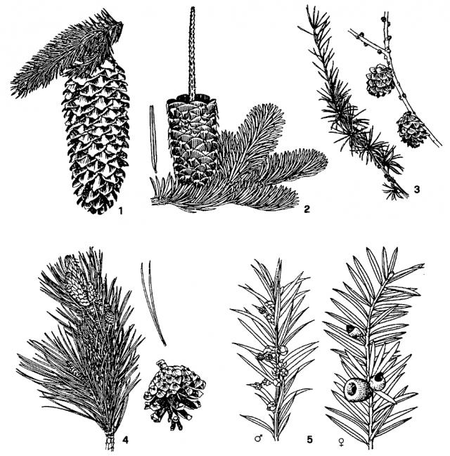 Skizze 1: Die fünf häufigsten Nadelhölzer unserer Wälder