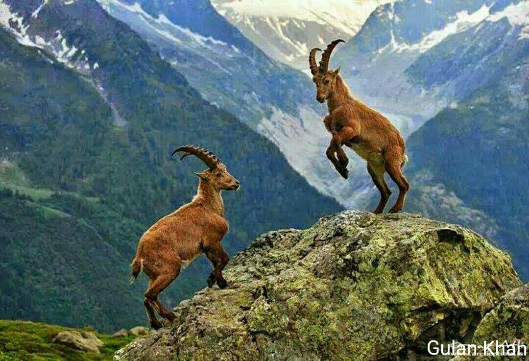 Markhor animals Pakistan national animal in Gilgit Baltistan Pakistan    Animals, Animals beautiful, Alpine ibex