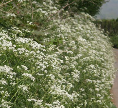 frothy cow-parsley verge