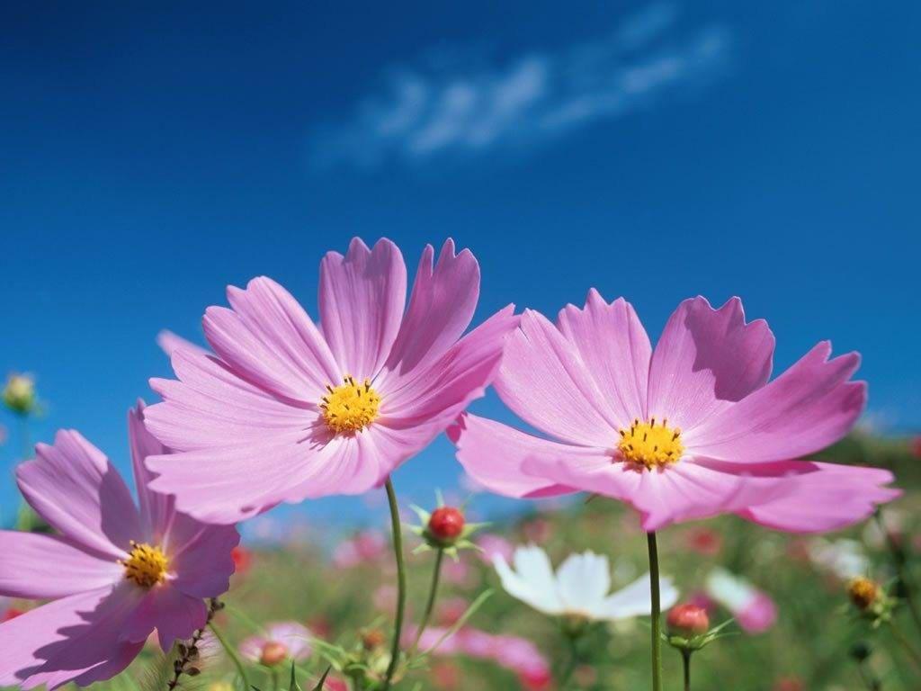 cosmos flower에 대한 이미지 검색결과