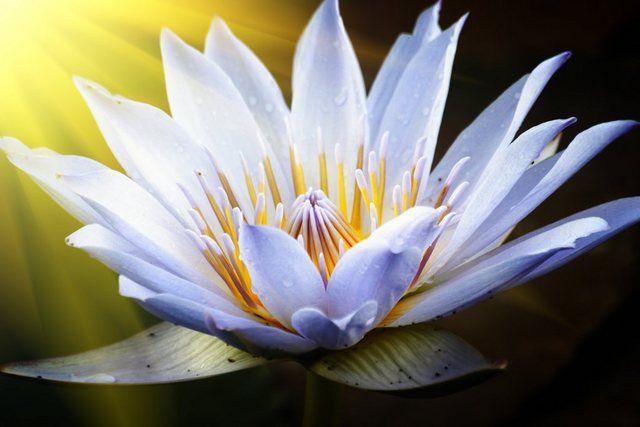 PAPERMOON Fototapete »Lotus Flower«, in verschiedenen Größen online kaufen | OTTO #lotusflower