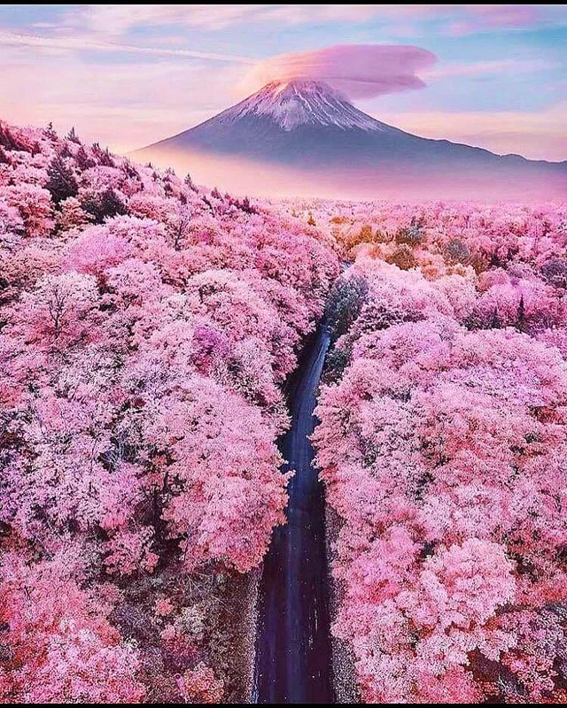 Pink Haze Created By Winds Carrying Cherry Blossoms Around Mt Fuji Natureisfuckinglit Beautiful Landscapes Cherry Blossom Japan River Rock Landscaping