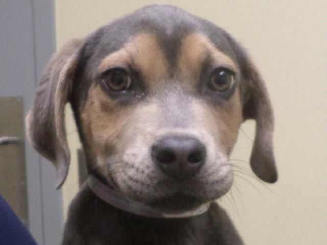 Meet CHAMP, an adoptable male Hound looking for a forever home. Florence, SC