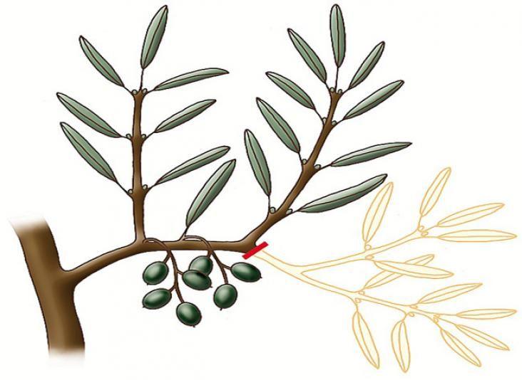 Quand et comment tailler l\'olivier : matériel et conseils | Olivier ...