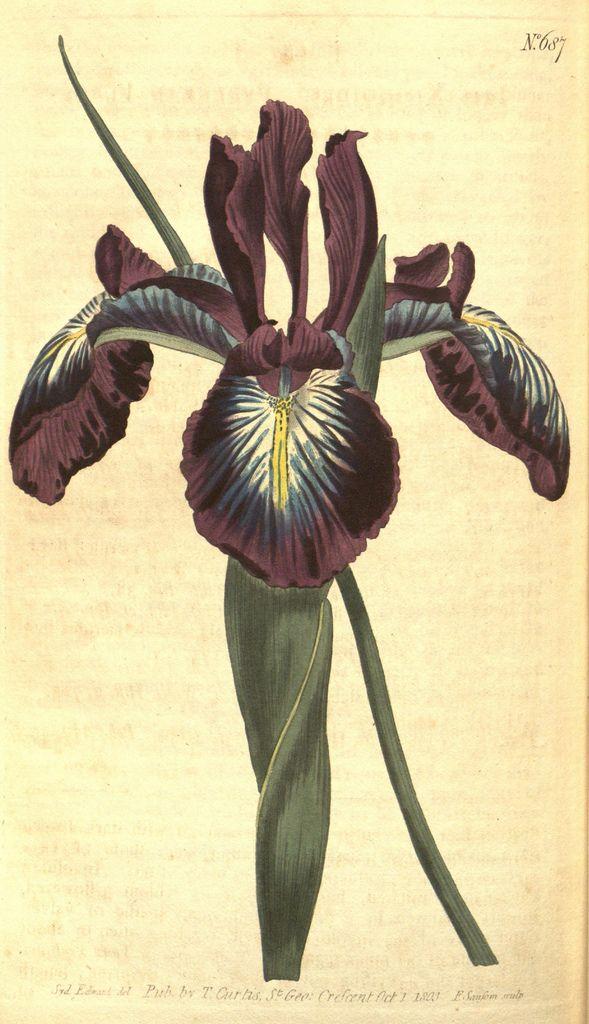 Curtis's botanical magazine.. London ;New York [etc.] :Academic Press [etc.]. biodiversitylibrary.org/page/470932