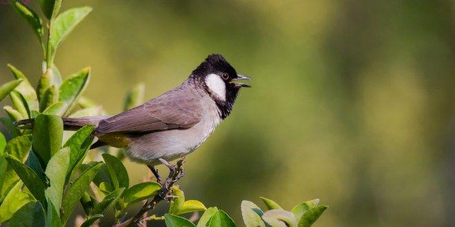 صوت البلبل اجمل انغام الطبيعة قائمة منوعة لتغريده طيور العرب Bulbul