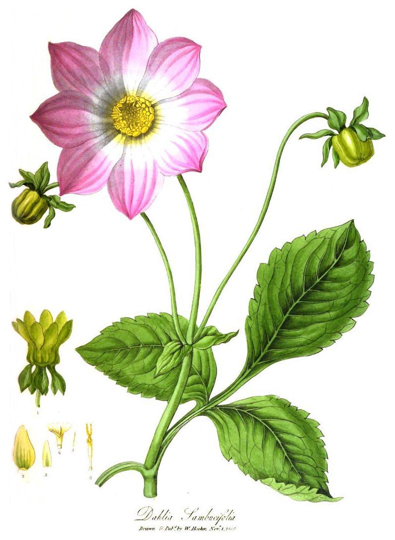 1805 Painting Of Dahlia Sambucifolia Http En Wikipedia Org Wiki Dahlia Botanical Flowers Dahlia Digital Flowers