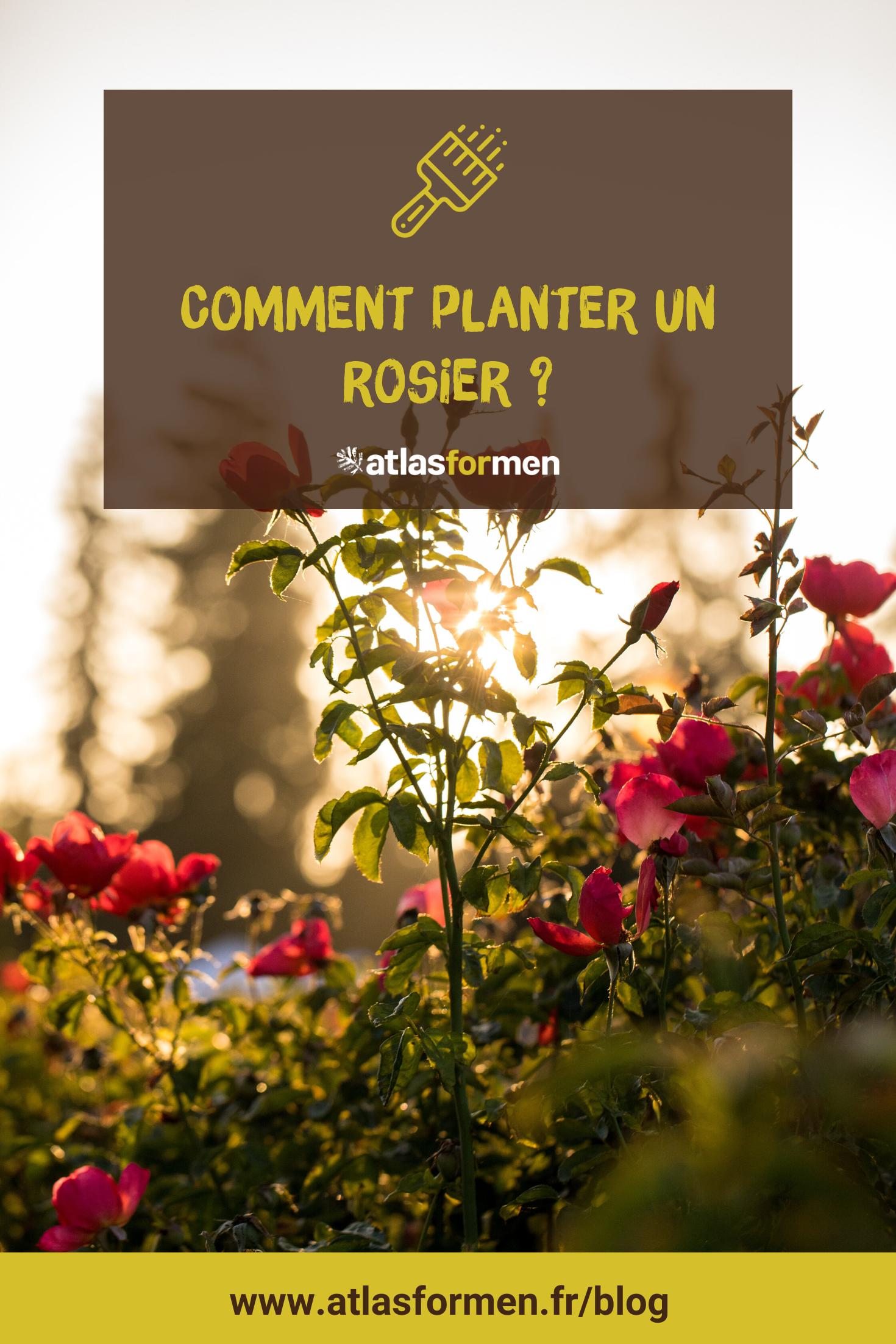 Comment planter un rosier ? en 2020