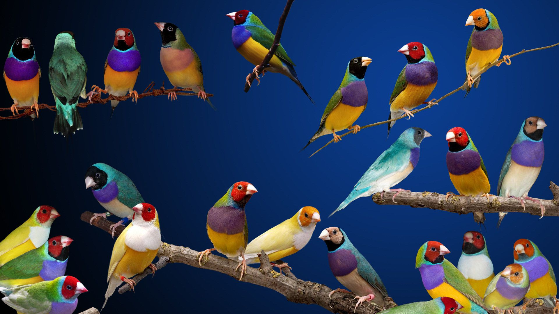 Pics for gouldian finch blue a charm of finches pinterest pics for gouldian finch blue biocorpaavc