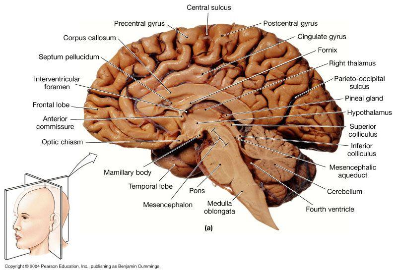 Brain sections anatomy