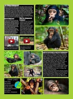 Chimpanzees Are Members Of The Family Hominidae Along With Humans Gorillas And Orangutans