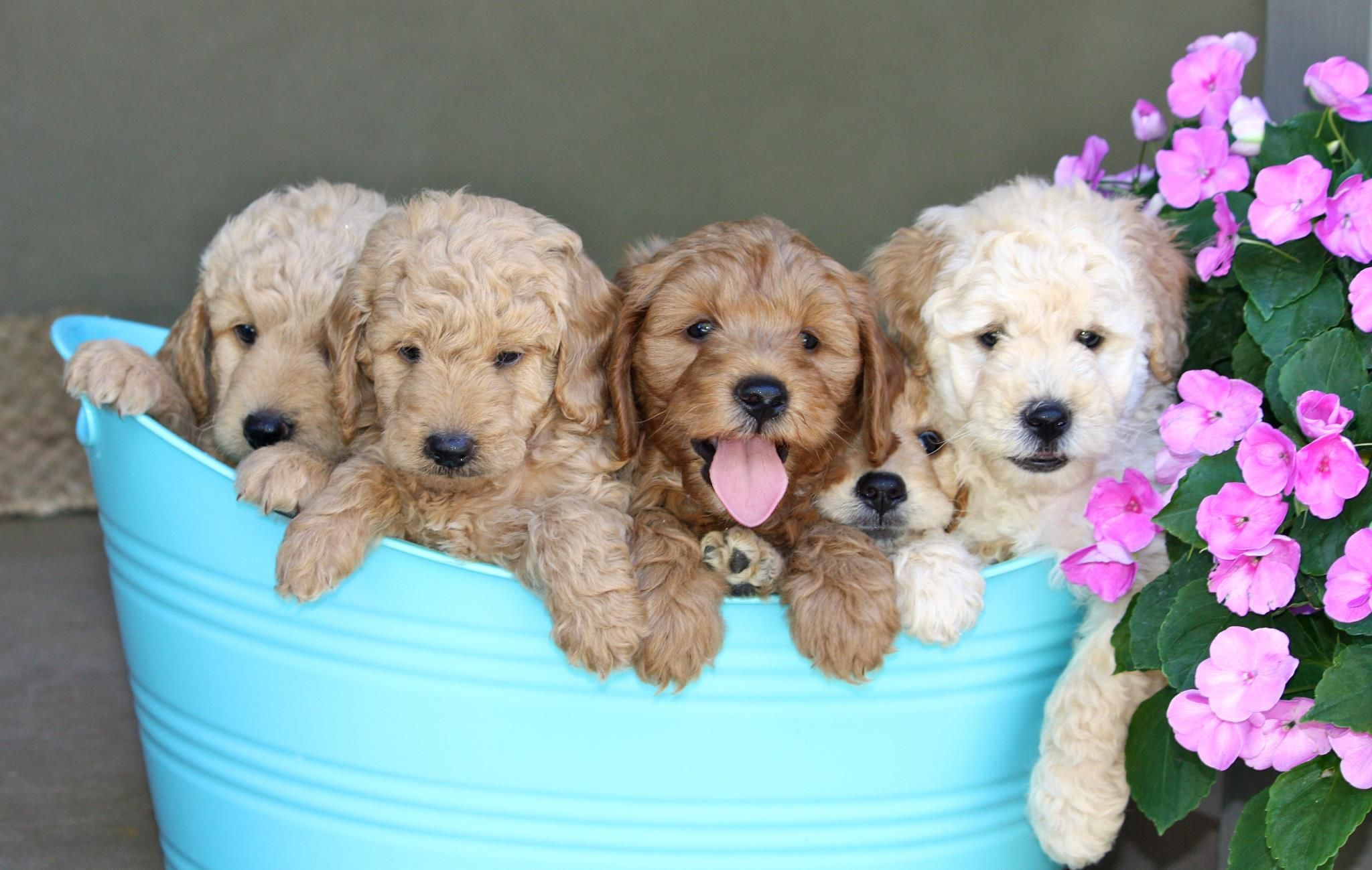 Almond Blossom Doodles Goldendoodles San Francisco Area California Mini Labradoodle Puppy Mini Goldendoodle Puppies Labradoodle Puppies For Sale