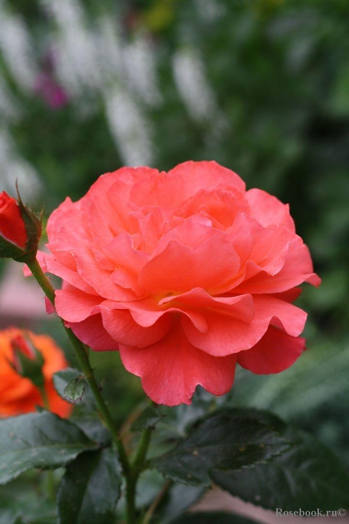 'For You With Love'| Floribunda rose. Fryer, UK-2004