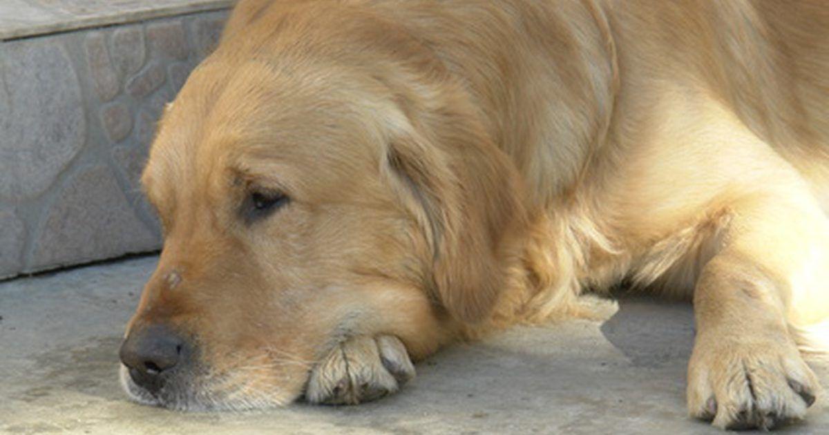 La Prednisona Para El Cancer De Perro Perros Golden Retrievers