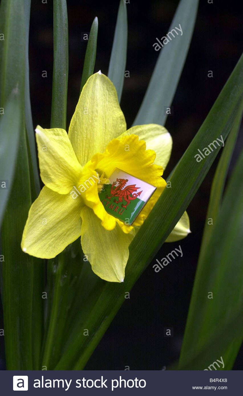 Daffodil national flower of Wales 10th March 2003Stock