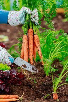 Karotten, Möhren Anbauen - Aussaat Und Pflege | Saat | Pinterest ... Fenchel Pflanzen Tipps Pflege Gemuse
