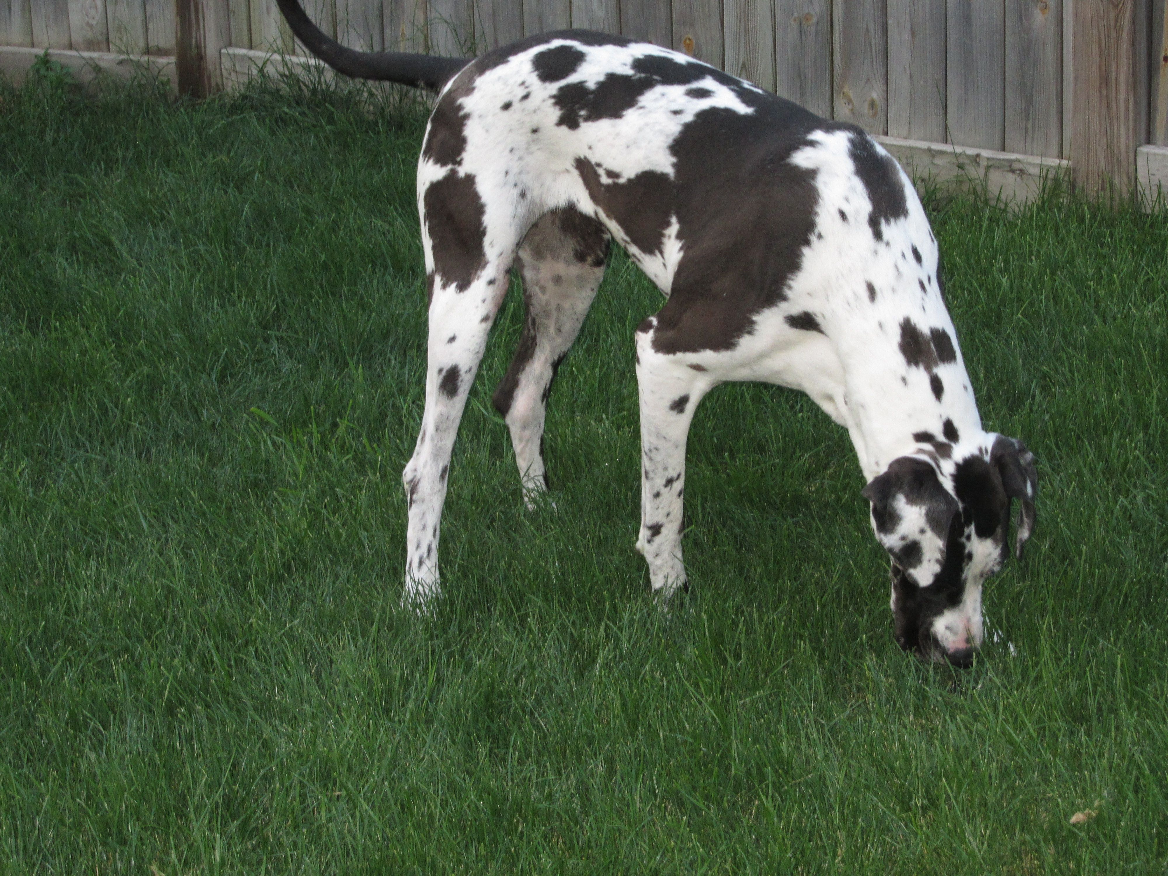 Kianna Grazing Like A Cow Harlequin Great Dane Great Dane Dogs