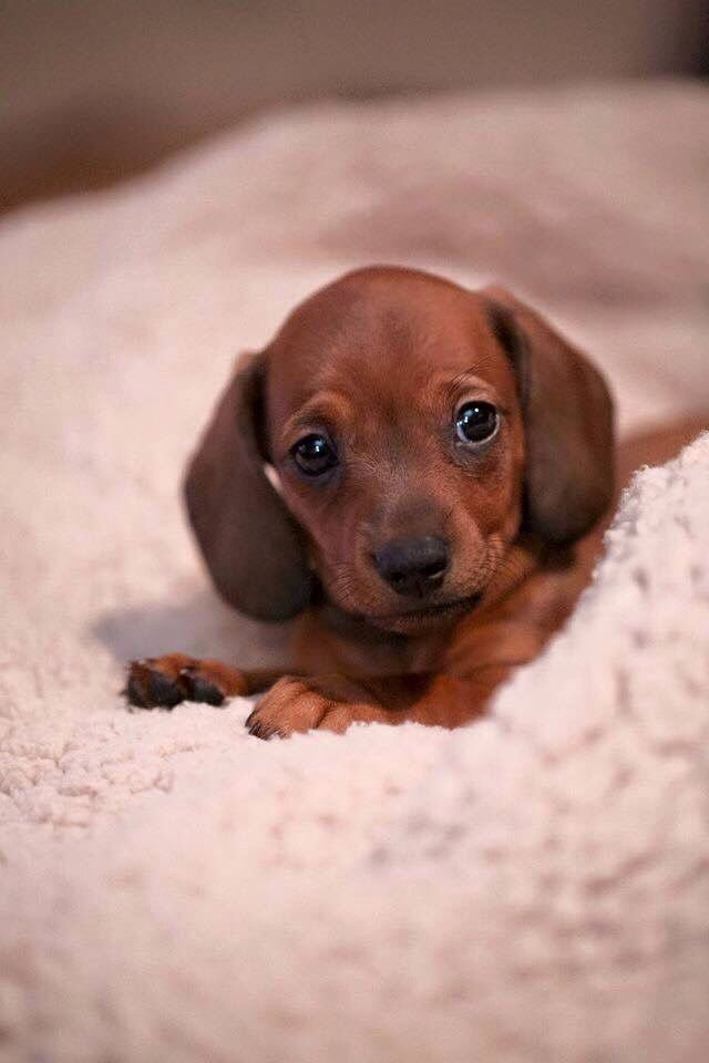 Idea By Ma On Puppies Dachshund Love Weenie Dogs Cute Baby Animals