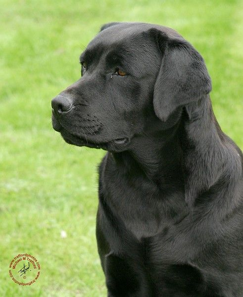 Mousematuk Dogs Labrador Retriever Labrador Retriever 9y053d 144 Labrador Retriever Labrador Labrador Retriever Dog